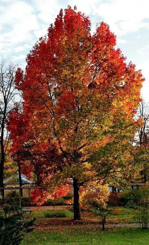 Sweet Gum Tree Sweet gum, Tree, Sassafras tree