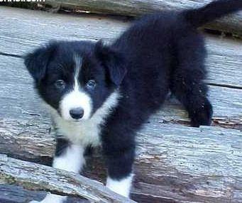 Border Collie Puppy Collie Puppies Boarder Collie Puppy Puppies