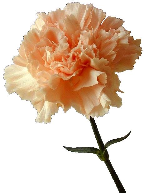 tubes fleurs ( oeillets )   ziedi   pinterest   oeillet, fleur et