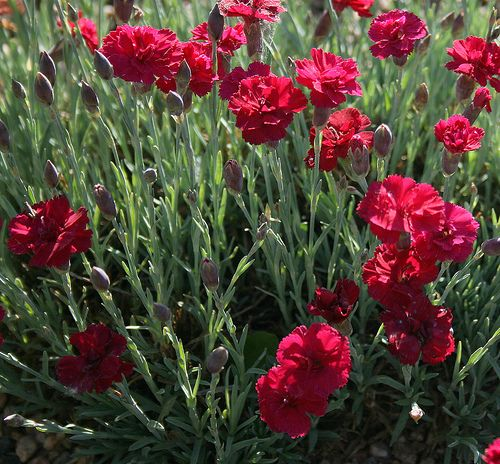 Carnation Flower Plants Carnation Flower Red White Pink Carnation Flowers Carnation Flower Carnation Flower Pictures Carnations