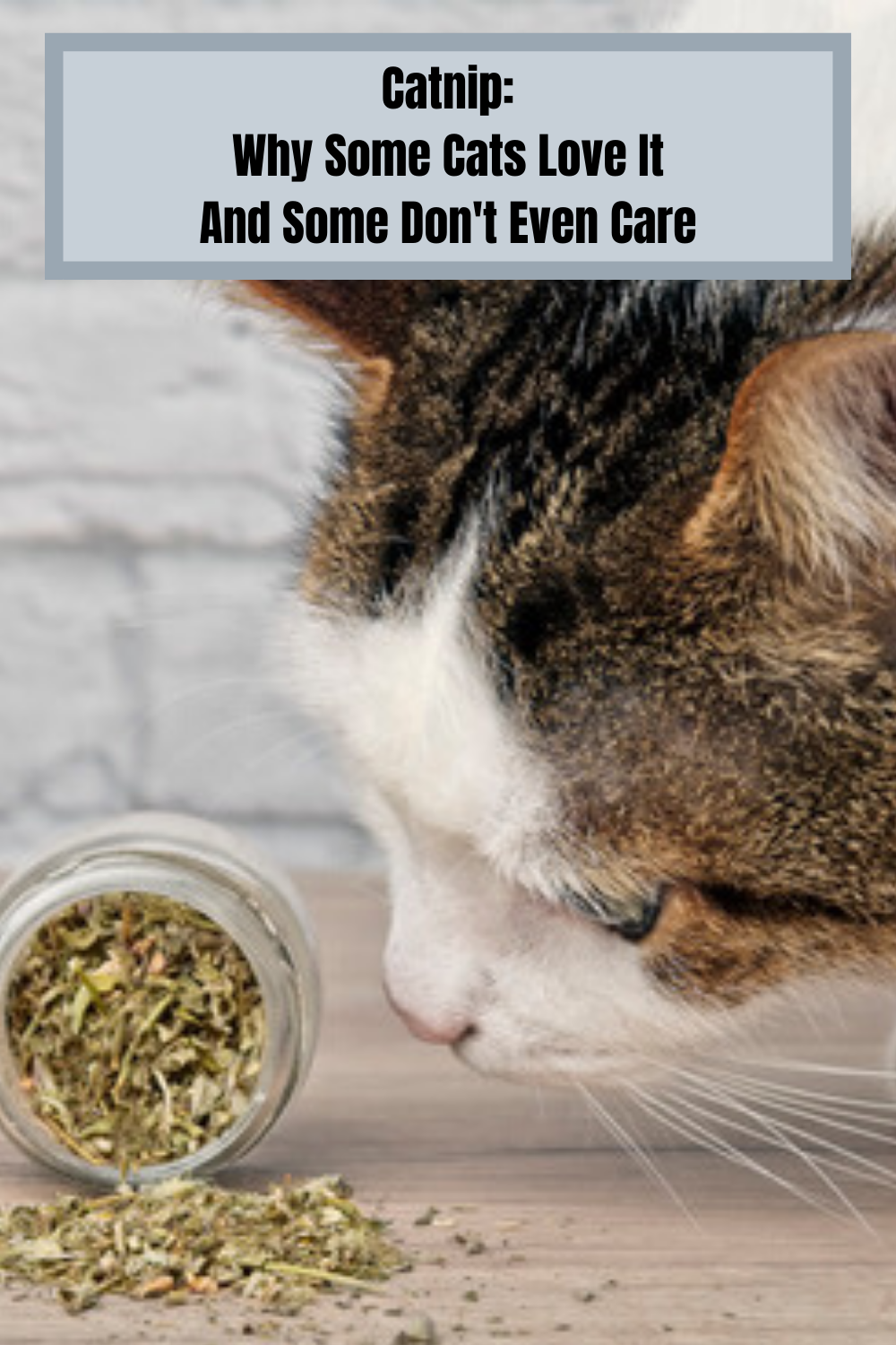Catnip Why Some Cats Love It And Some Cats Don T In 2020 Cat Behavior Catnip Cat Love