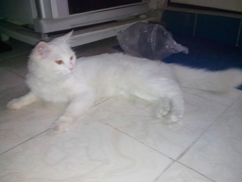 Beautiful Cat Sale In Karachi For More Information Visit Our Site Free Classified Pakistan Cats For Sale Beautiful Cat Pet Birds