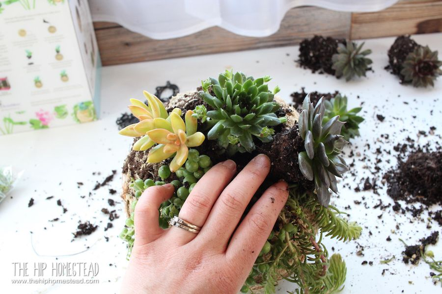 How to plant a beautiful succulent kokedama kit the hip