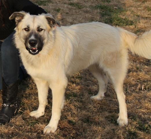 MD to ME.....Never is a 1 year old Pyr mix weighing about 80 lbs. She is generally good with other dogs but untested with cats. She is currently in a home with 8 dogs and would like something a little less choatic. She can go anywhere from MD to ME. Please email Katia@bigfluffydogs.com if you would like to foster or adopt.