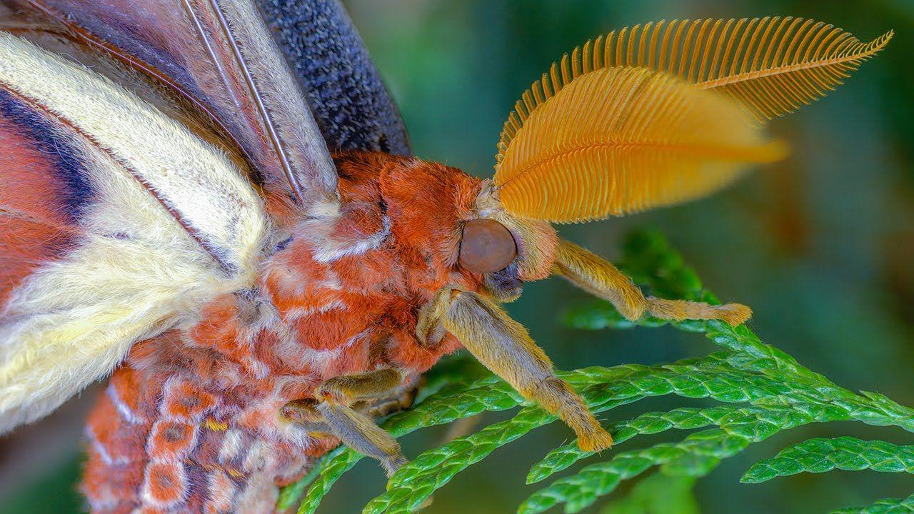Attacus Atlas Moth Development Atlasspinner Motte Entwicklung Fhd Atlas Moth Moth Large Moth