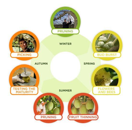 Production Cycle In New Zealand For Kiwifruit Kiwi Fruit Fruit Prune