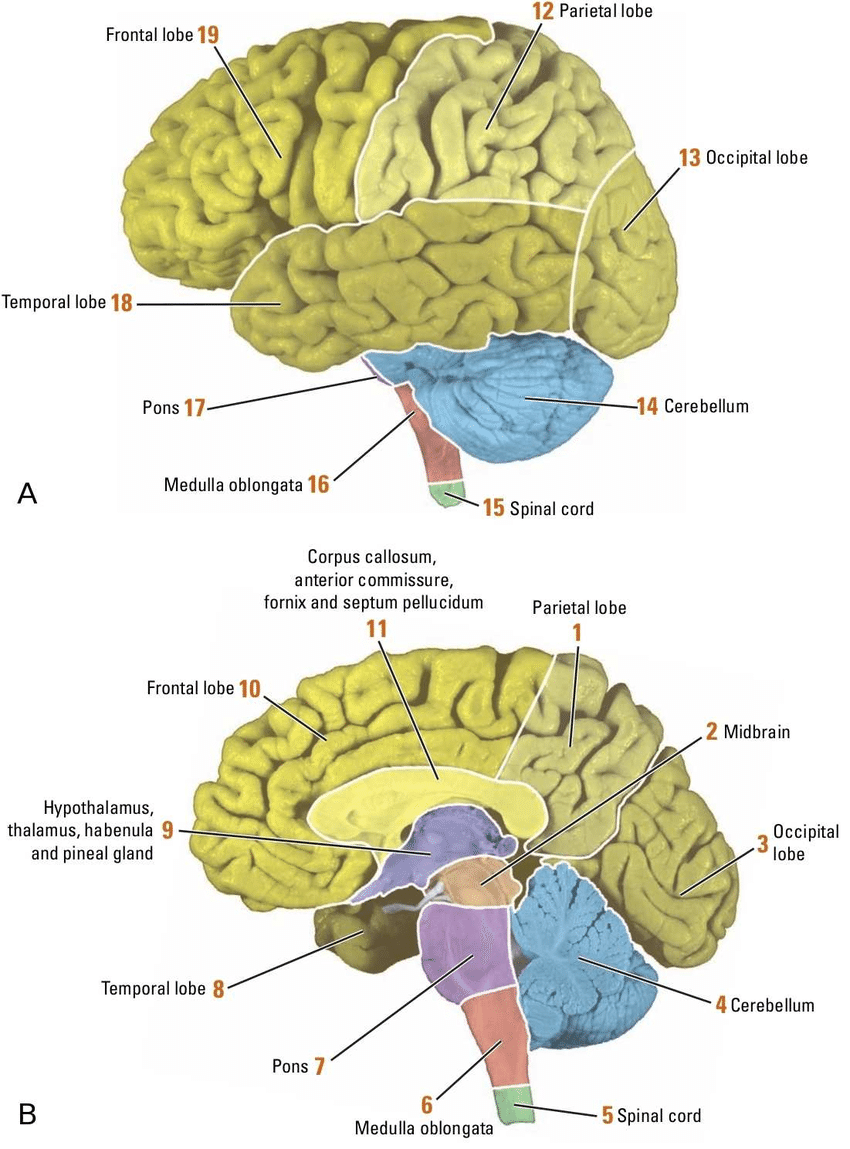 Google Image Result In 2021 Brain Pictures Cerebral Cortex Human Brain Diagram [ 1149 x 850 Pixel ]