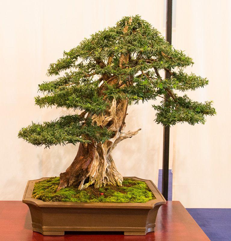 gemeine eibe taxus baccata in mannheim 2014 bonsai ausstellung des bcd bonsai b ume. Black Bedroom Furniture Sets. Home Design Ideas