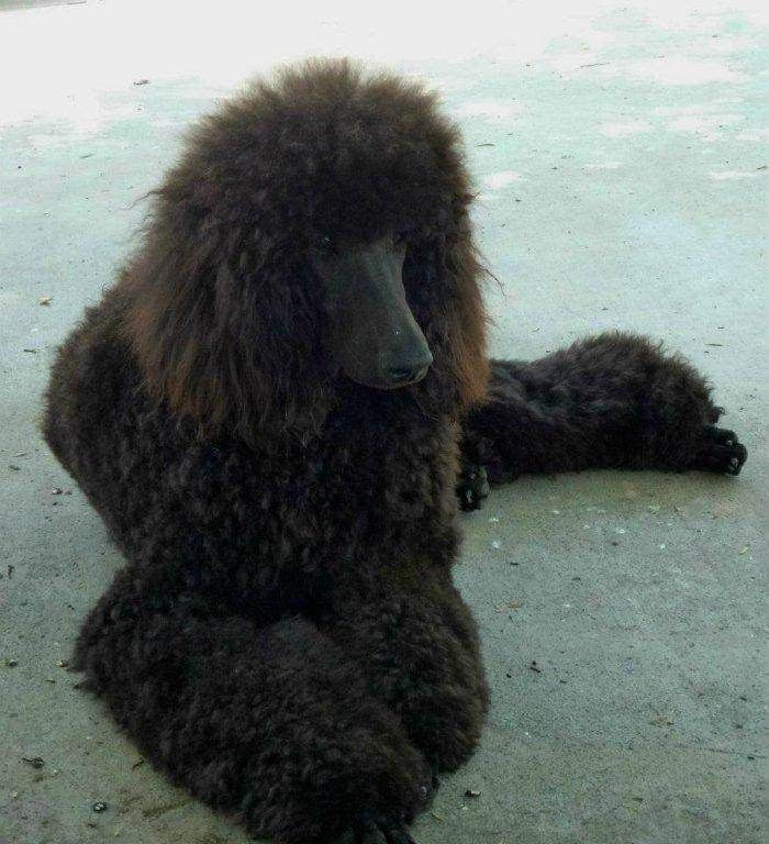 Sisco S Standard Poodle Photos Red Apricot White Black Brown