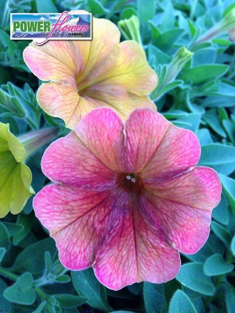 Power Flowers Petunia Petunia Flower Amazing Flowers Petunias