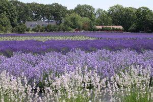 Lavender Farm Long Island Ny