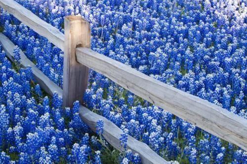 Field of blue lupines colorado springs colorado photo via field of blue lupines colorado springs colorado photo via hancockseed mightylinksfo