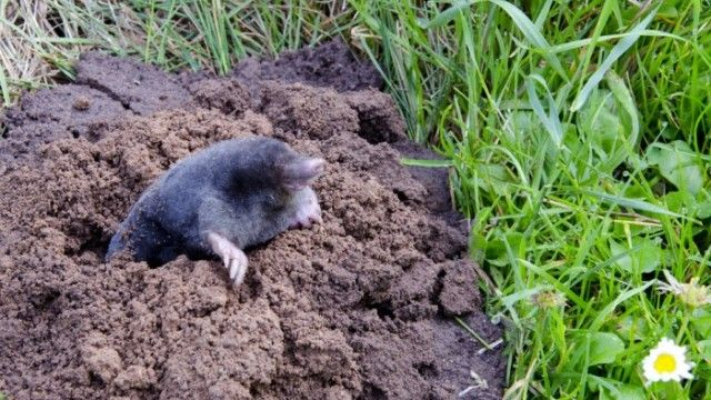 Natural Way To Get Rid Of Ground Moles