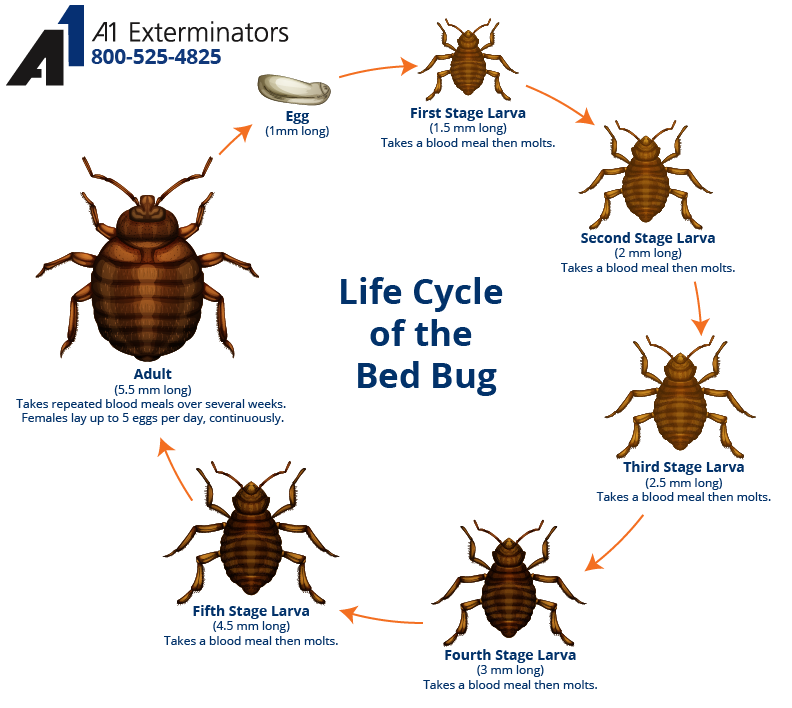 The life cycle of a bed bug. If you think you may have bed