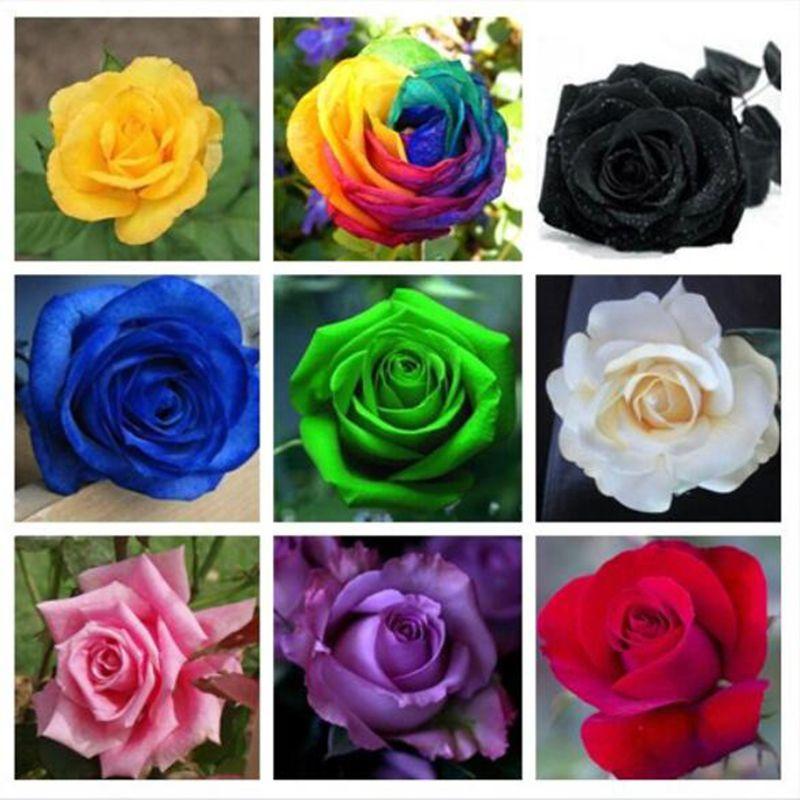 /'35 Semi di Rosa tanti colori entra e scegli..