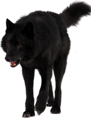 Black Wolf Black Wolf Psd Detail Black Wolf Wolf Poses Wolf Life