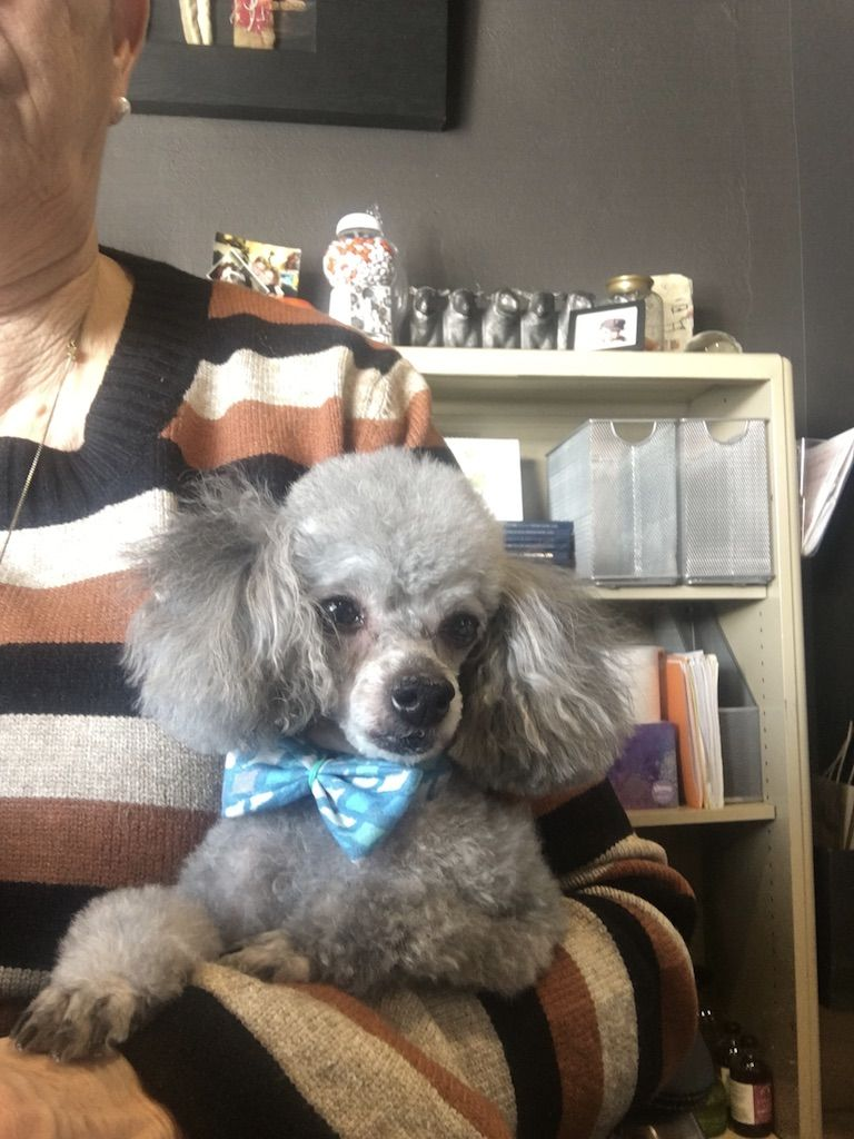 Poodle Toy Dog For Adoption In St Louis Park Mn Adn 806175 On