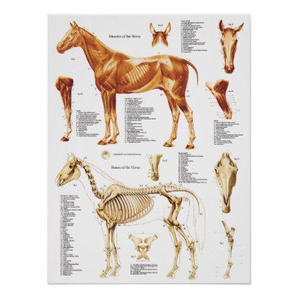 Horse Anatomy Poster Muscles and Bones 18 X 24 | Pinterest | Horse ...