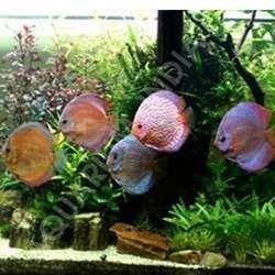 Planted Aquarium Discus Fish Buy In Chennai Planted Aquarium Discus Fish Aquarium Fish