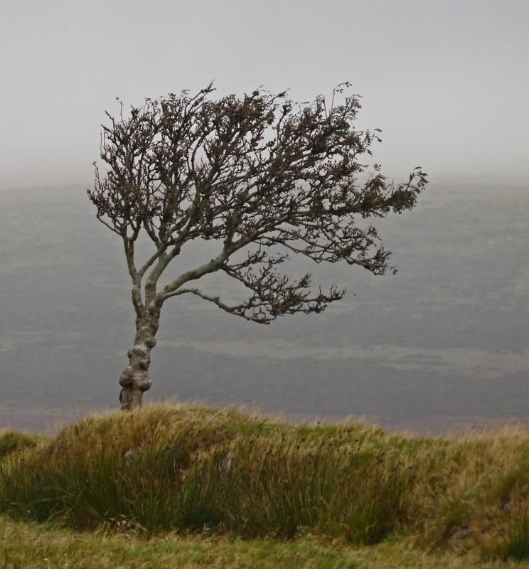 Windswept Tree Dartmoor Devon by Carol Coward
