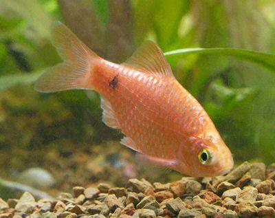 Neon Rosy Barb Puntius Conchonius Barbus Conchonius Home Aquarium Fish Aquarium Fish Fish