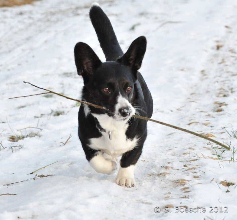 The Daily Corgi Black And White Cardigan Corgi Black Corgi
