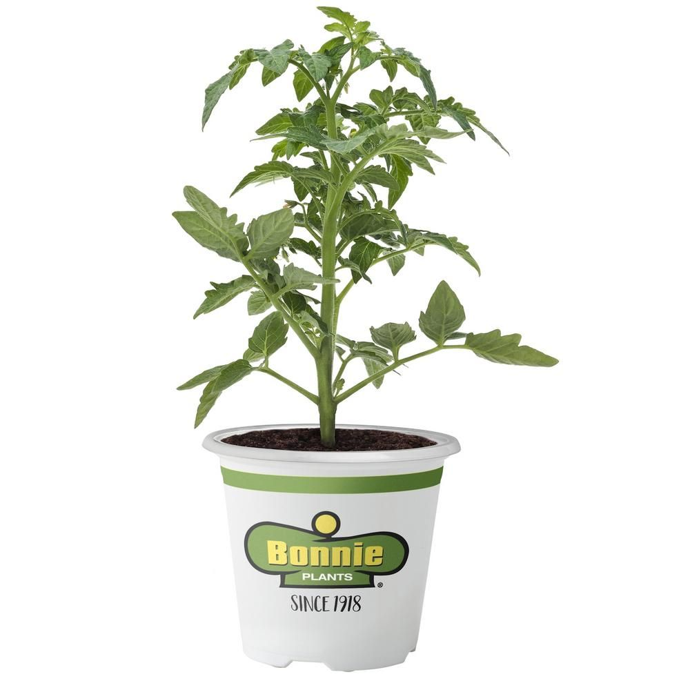 Bonnie Plants 2 32 Qt Tomato Husky Cherry Red 0215 In 640 x 480