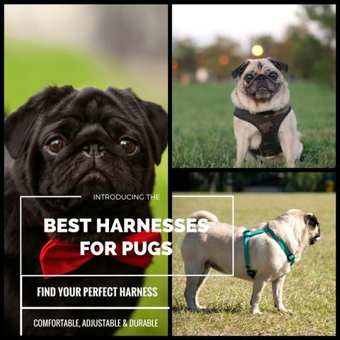 The Best Pug Harnesses Top 5 Picks In 2018 Porkypaws Dog Blog