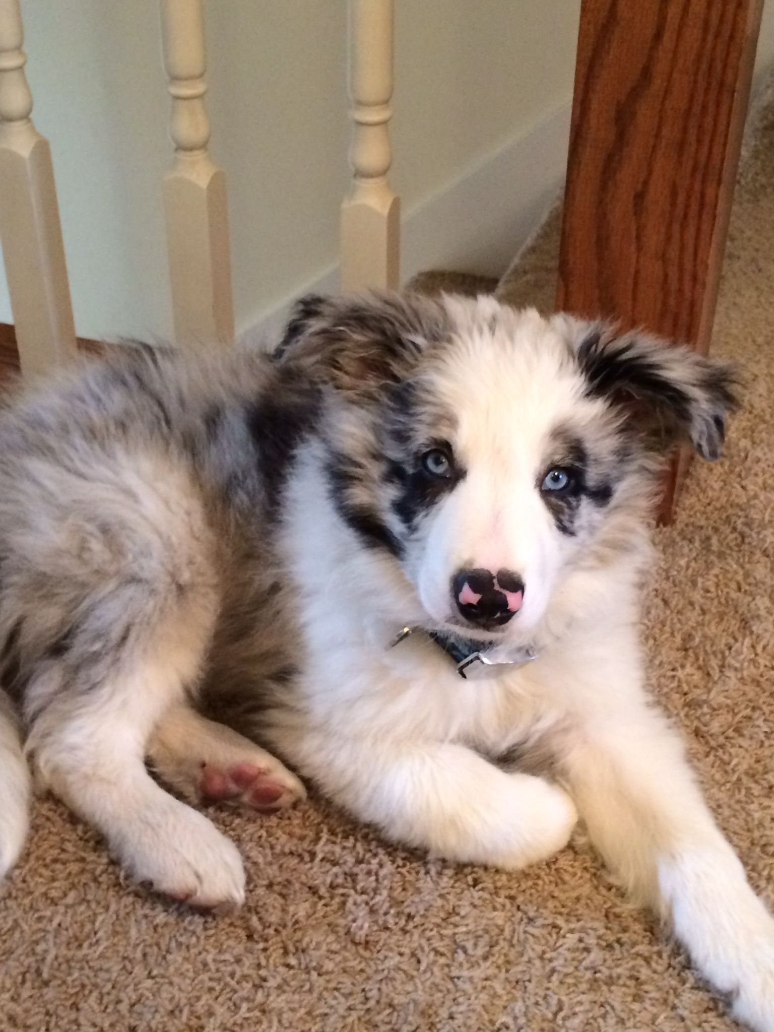 Border Aussie Puppies For Sale Texas References