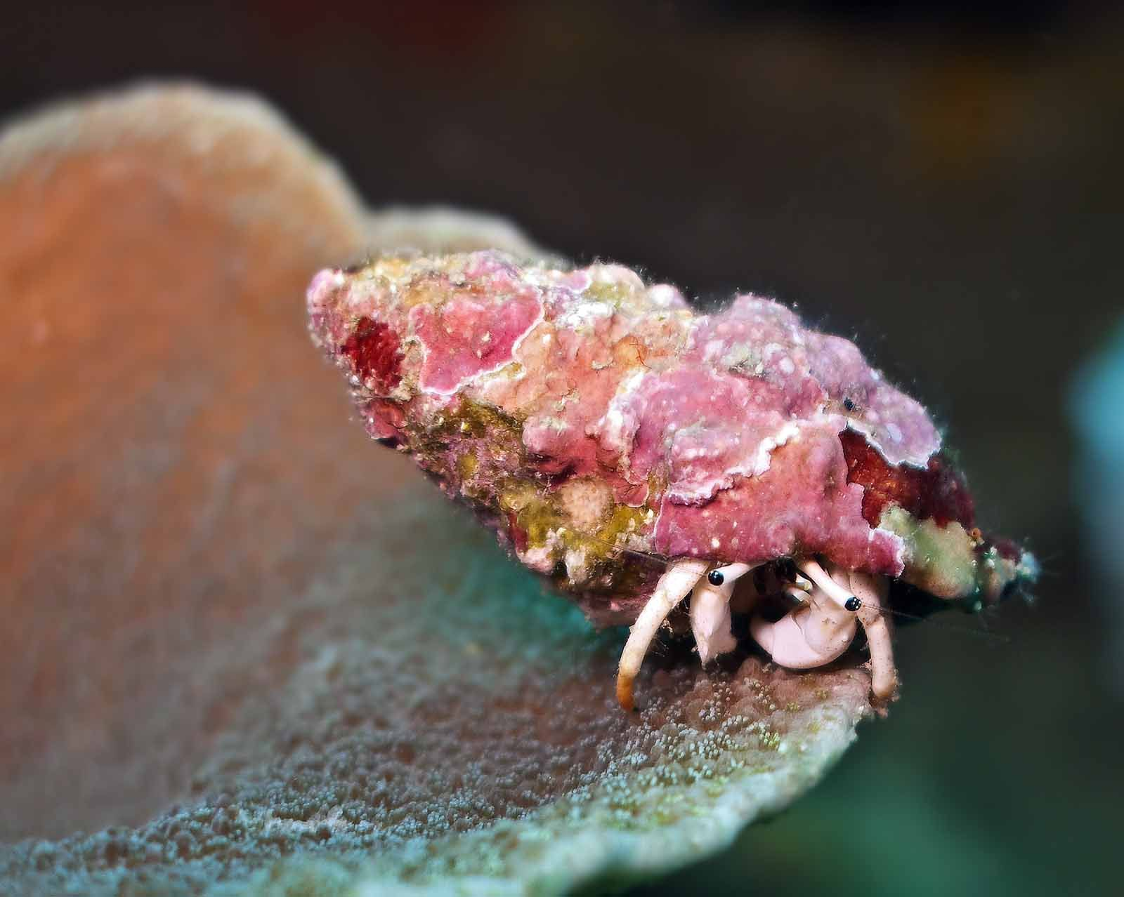 Pink Hermit Crab