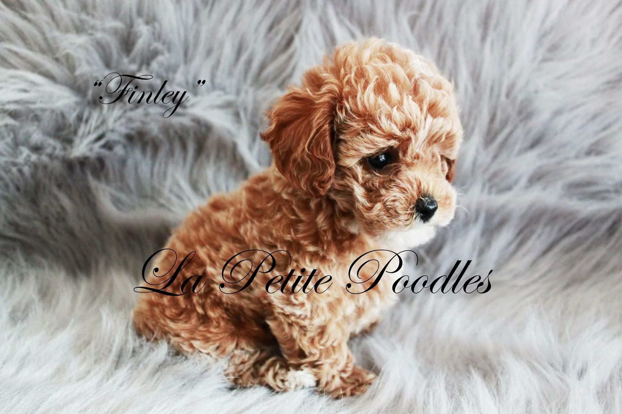 Teacup poodle lapetitepoodles Teacup dog breeds