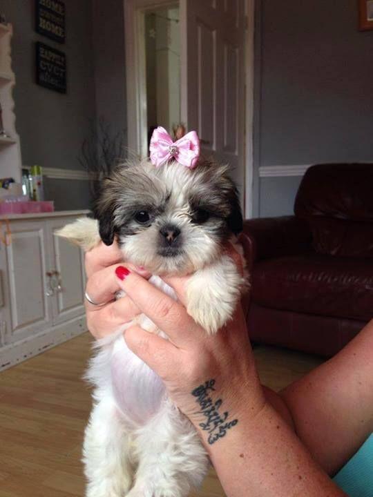 Pretty Little Girl Shih Tzu Shih Tzu Dogs Shih Tzu Dog