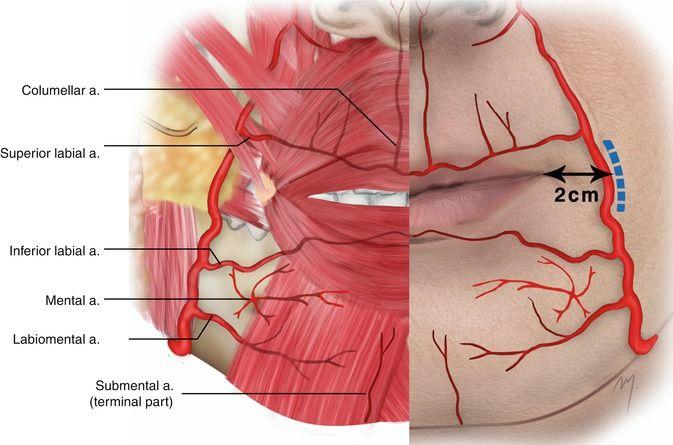 Anatomy of lips