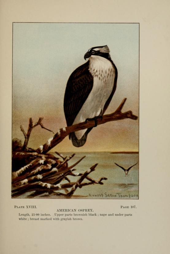 American osprey, Bird-Life: A guide to the study of our common birds, Frank M. Chapman, illustrated by Ernest Seton Thompson, 1900.