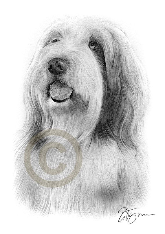 Bearded Collie Dog Portrait Pencil Drawing Print Artwork