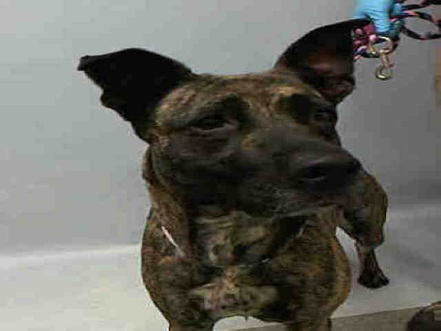 A1063864 Charm . FEMALE, BR BRINDLE / BLACK, GERM SHEPHERD MIX, 2 yrs STRAY – ONHOLDHERE, HOLD FOR ARRESTED Reason STRAY Intake condition UNSPECIFIE Intake Date 01/29/2016, From NY 11208,.....SAFE