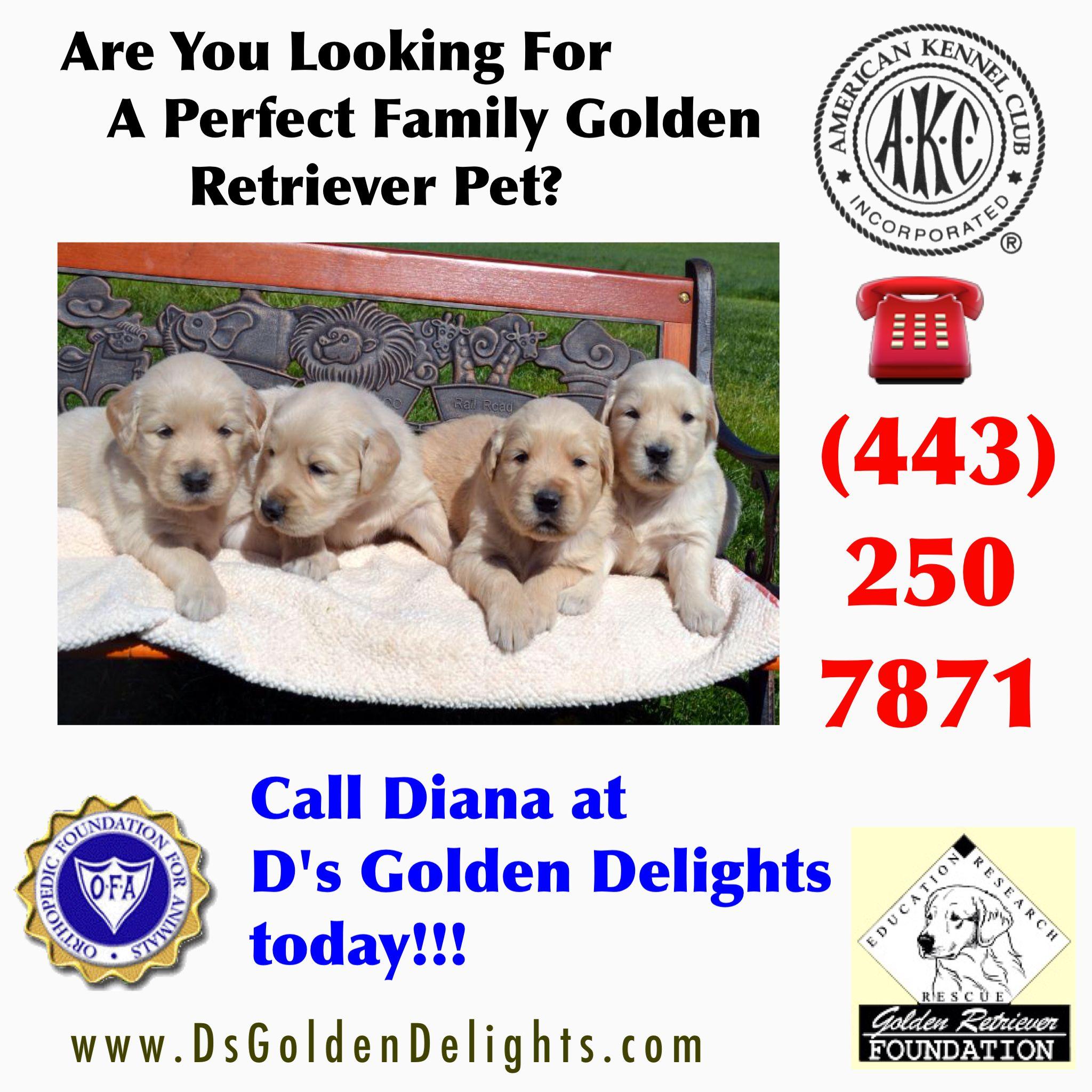 NEW JERSEY GOLDEN RETRIEVER PUPPIES DELAWARE GOLDEN