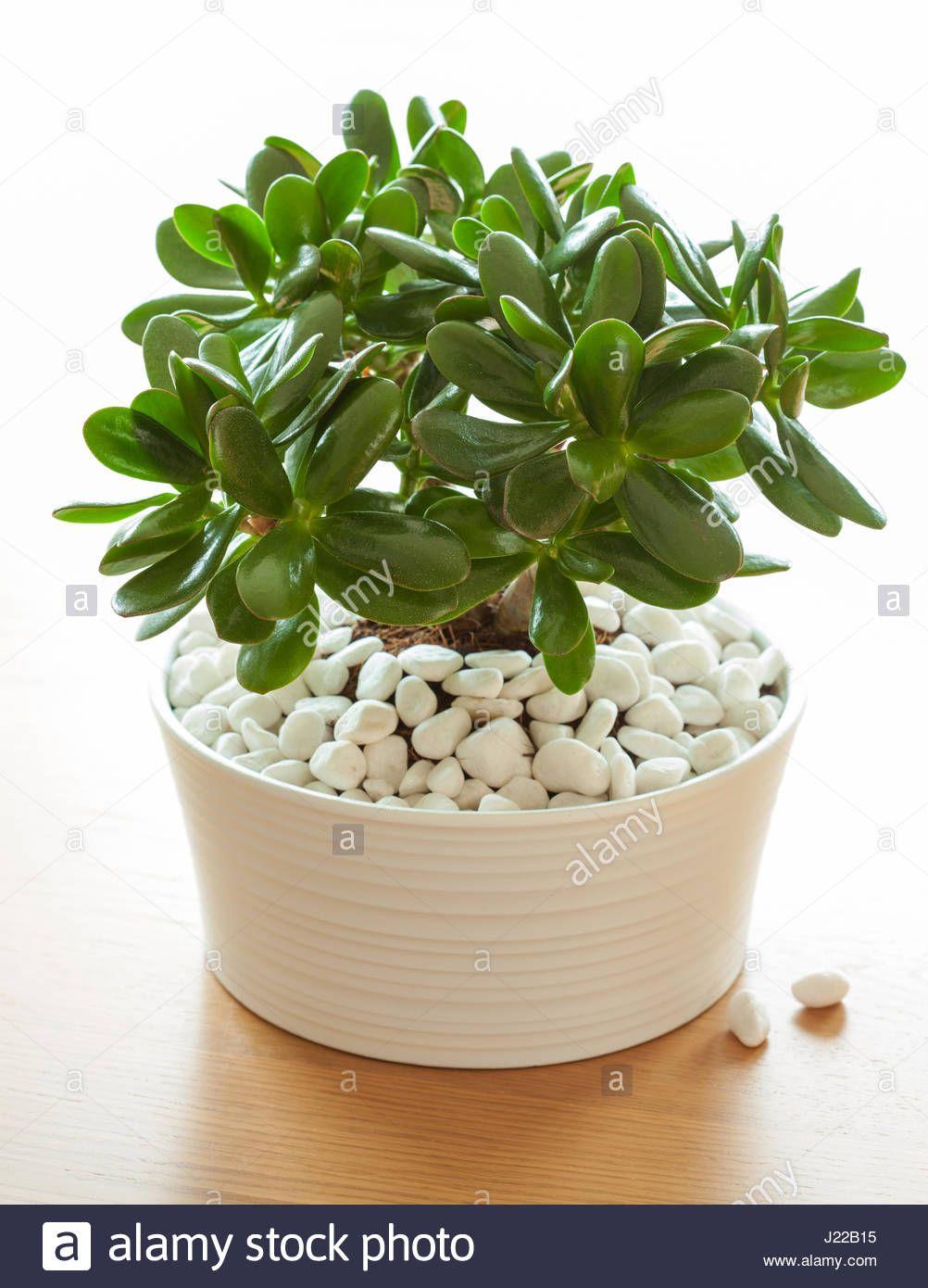 Image Result For White Rocks Jade Plant Jade Plants Best Indoor