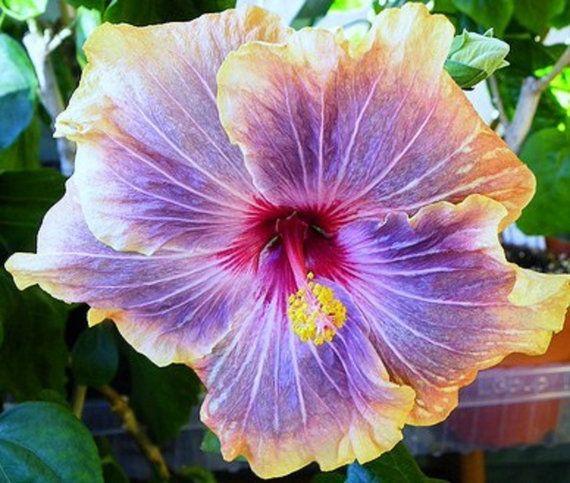 Hibiscus Sp Gabriel Cajun Series Tropical By Bonniesgarden Hibiscus Plant Flower Seeds Hibiscus Flowers