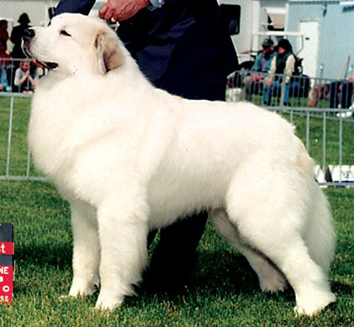 Dog Breed Great Pyrenees Large Dog Breeds Great Pyrenees