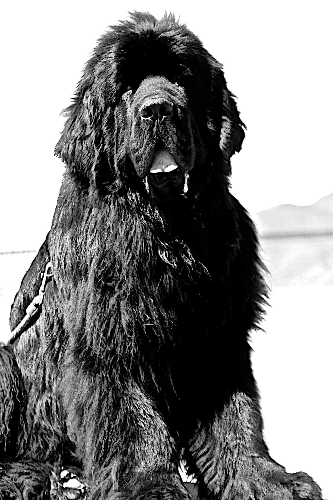 Pin By Stephen Sayad On My Newfies Newfoundland Dog Giant