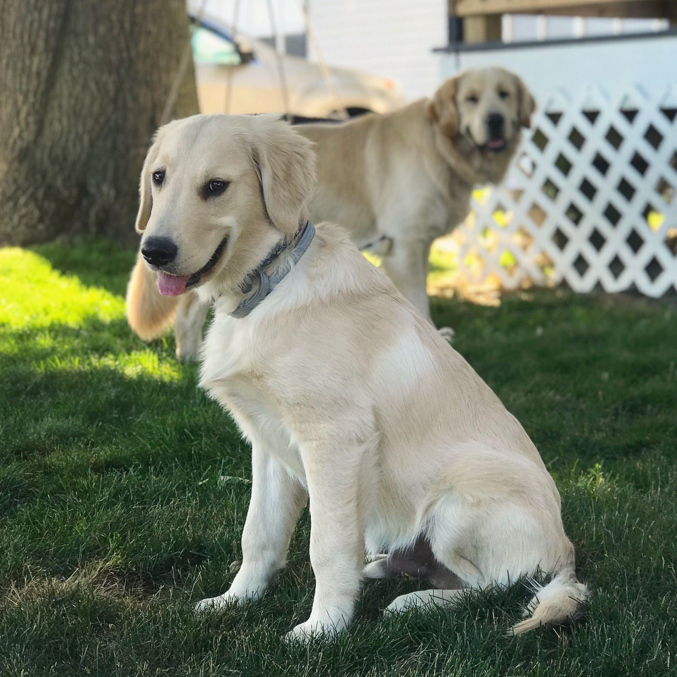 Jasperthefriendlygolden And Joyful Jax Golden Retriever Puppies
