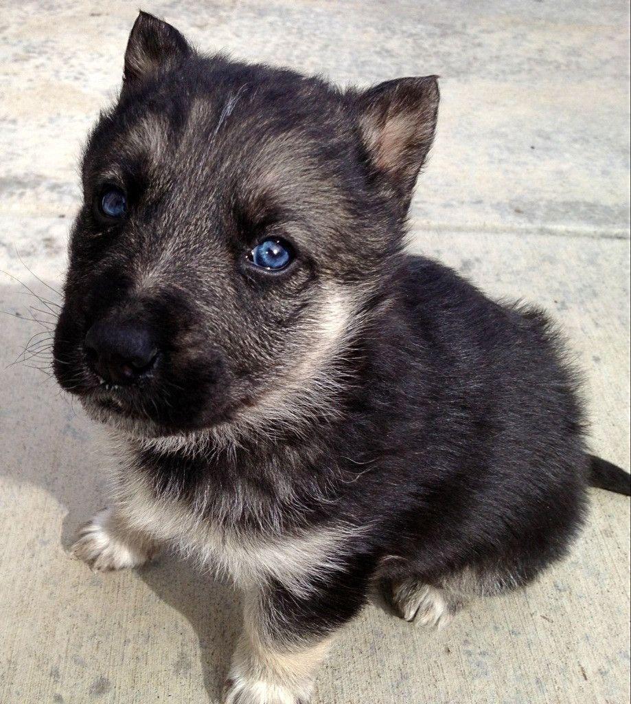 Baby Black And White German Shepherd Puppies German Shepherd Mix Puppies German Shepard Puppies German Shepherd Puppies