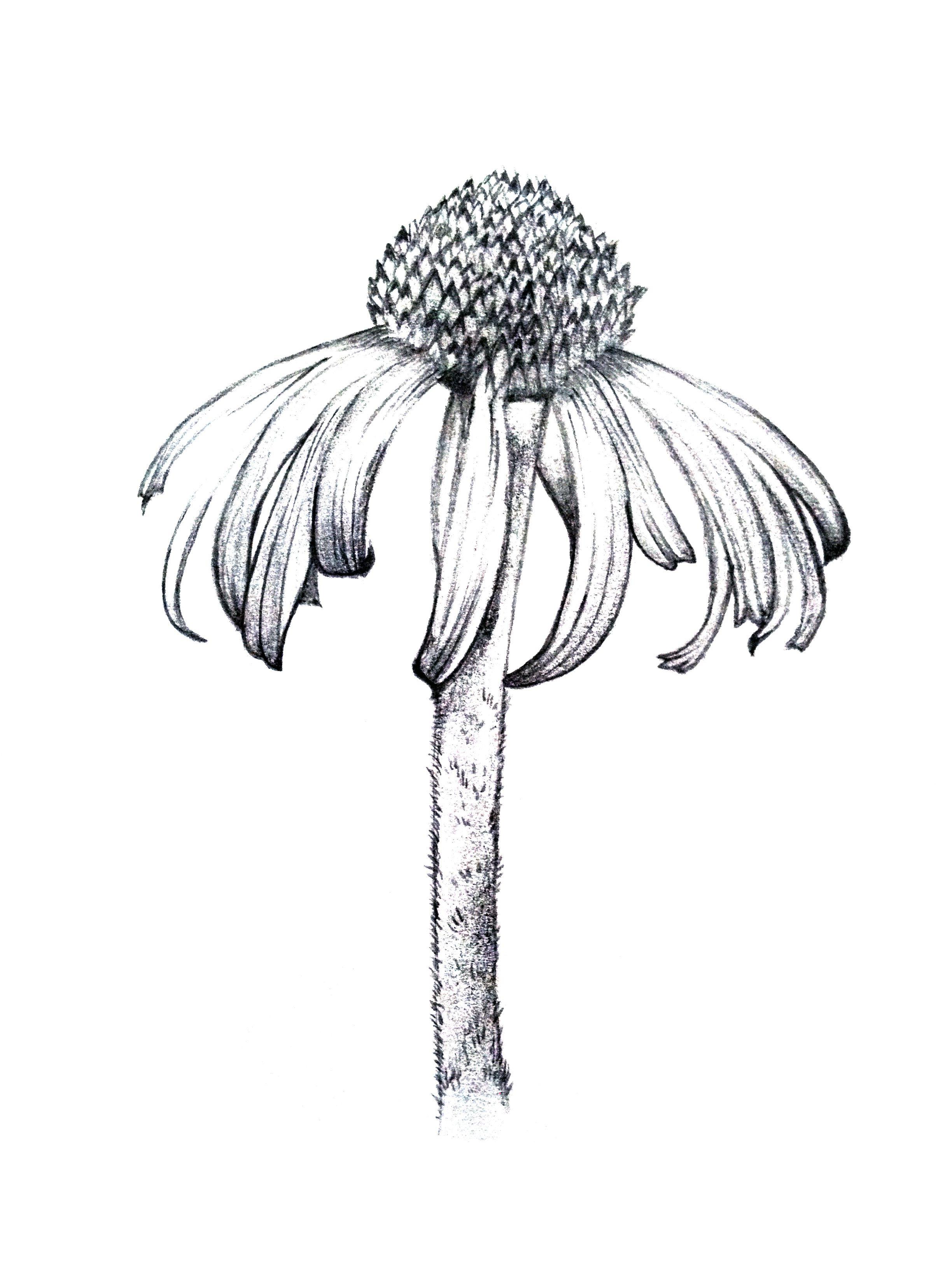Botanical art coloring book - Botanical Line Drawing Google Search