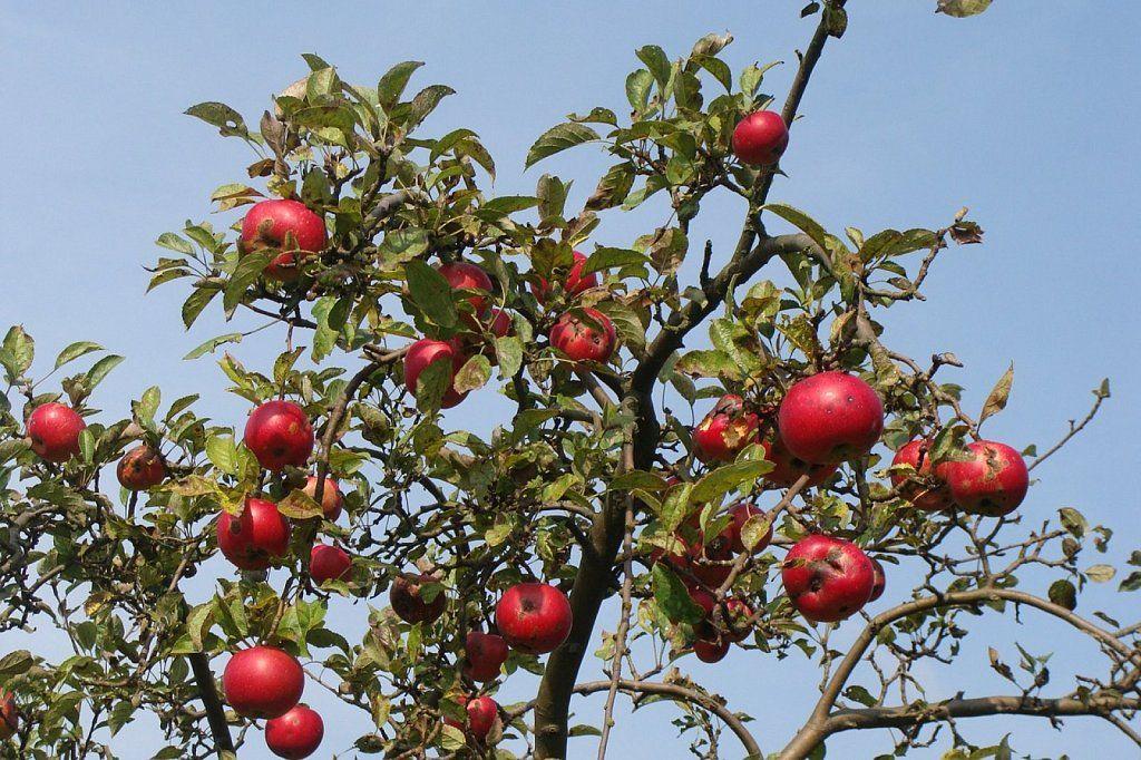 cómo tener los mejores frutales, pero en macetas | huertas