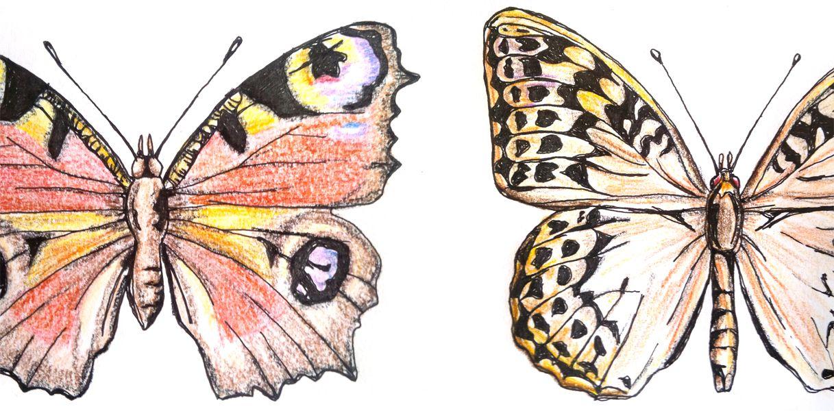 Illustration Tagfalter Schmetterling Zeichnen Skizzierung Zeichnungen