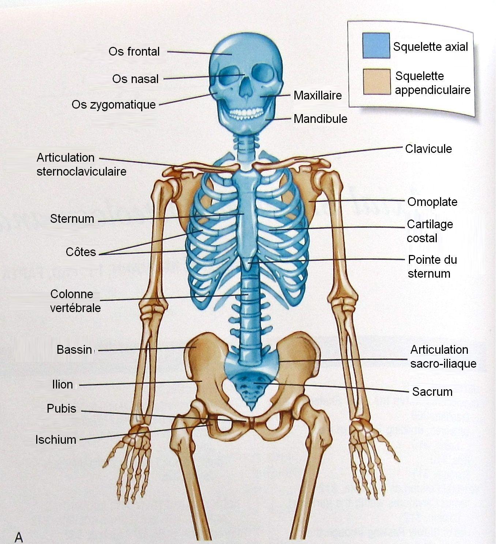 Rsultat De Recherche Dimages Pour Squelette Axial Science Pixgood Com White Blood Cell Structure Diagram Of A
