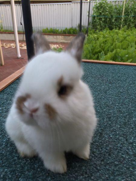 Baby Rabbits For Sale Rabbits Gumtree Australia Swan Area
