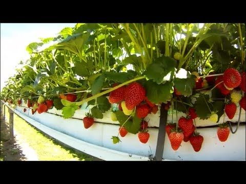 How To Grow Hydroponic Strawberries Hydroponic Strawberries Growing Strawberries Growing Food