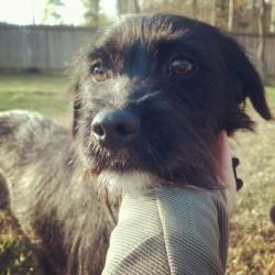 Dagwood Is An Adoptable Schnauzer Dog In Richmond Va Dashing